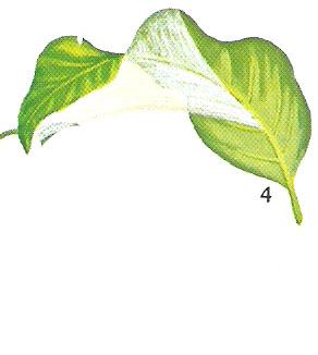 spatiphilium4