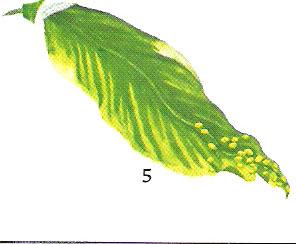 spatiphilium5